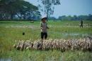 Cử nhân thất nghiệp đi chăn vịt kiếm sống